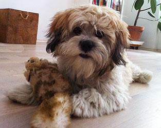 Bodhi - der Therapiehund
